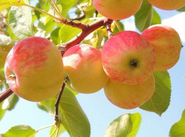сбор яблок и груш