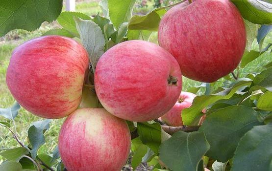 сбор яблок в Польше