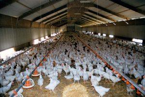 2514, работник птицефабрики, работать на птицеферме, птицеферма в Польше