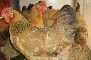 9675, работник птицефермы, работать на птицеферме, работник птицефермы в Польше