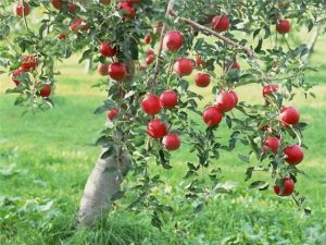 9672, сбор яблок, собирать яблоки, помощь в сборе яблок, актуальная вакансия в Польше по сбору яблок, собирать яблоки в Польше