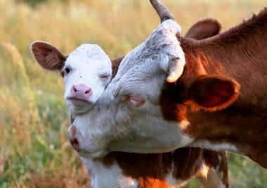 4732, фермер, работать на ферме, фермер в Польшу, уход за коровами
