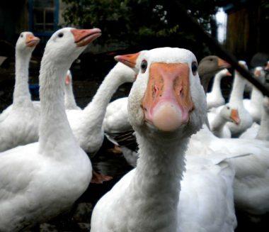 работник прицефермы, смотреть за гусями, птицеферма, работать на гусиной ферме